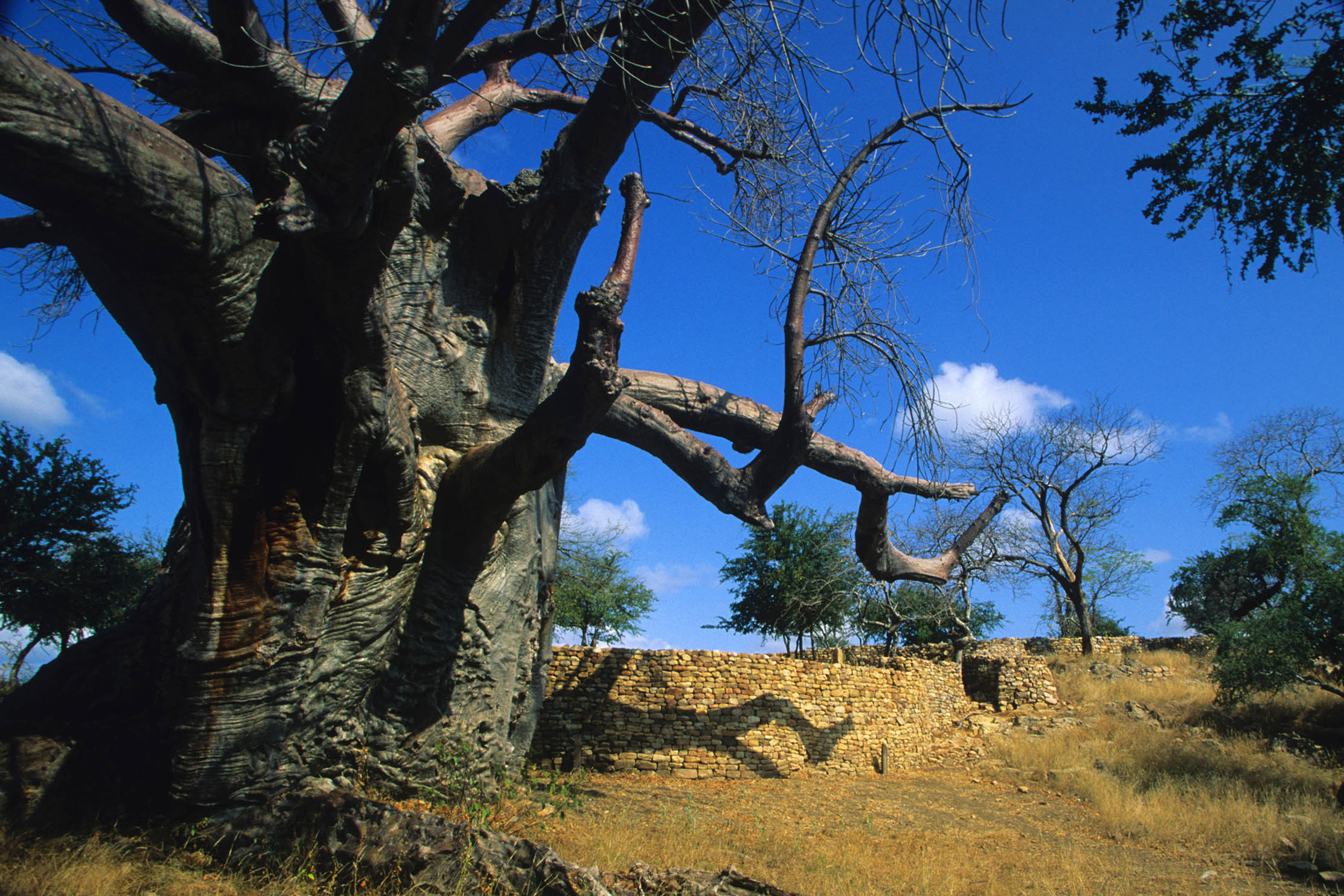 Legend has it that baobabs were planted upside down by the gods as an expression of their wrath long before the Mapungubwe ancestors set foot on this land. (Photo from Gallo Images)