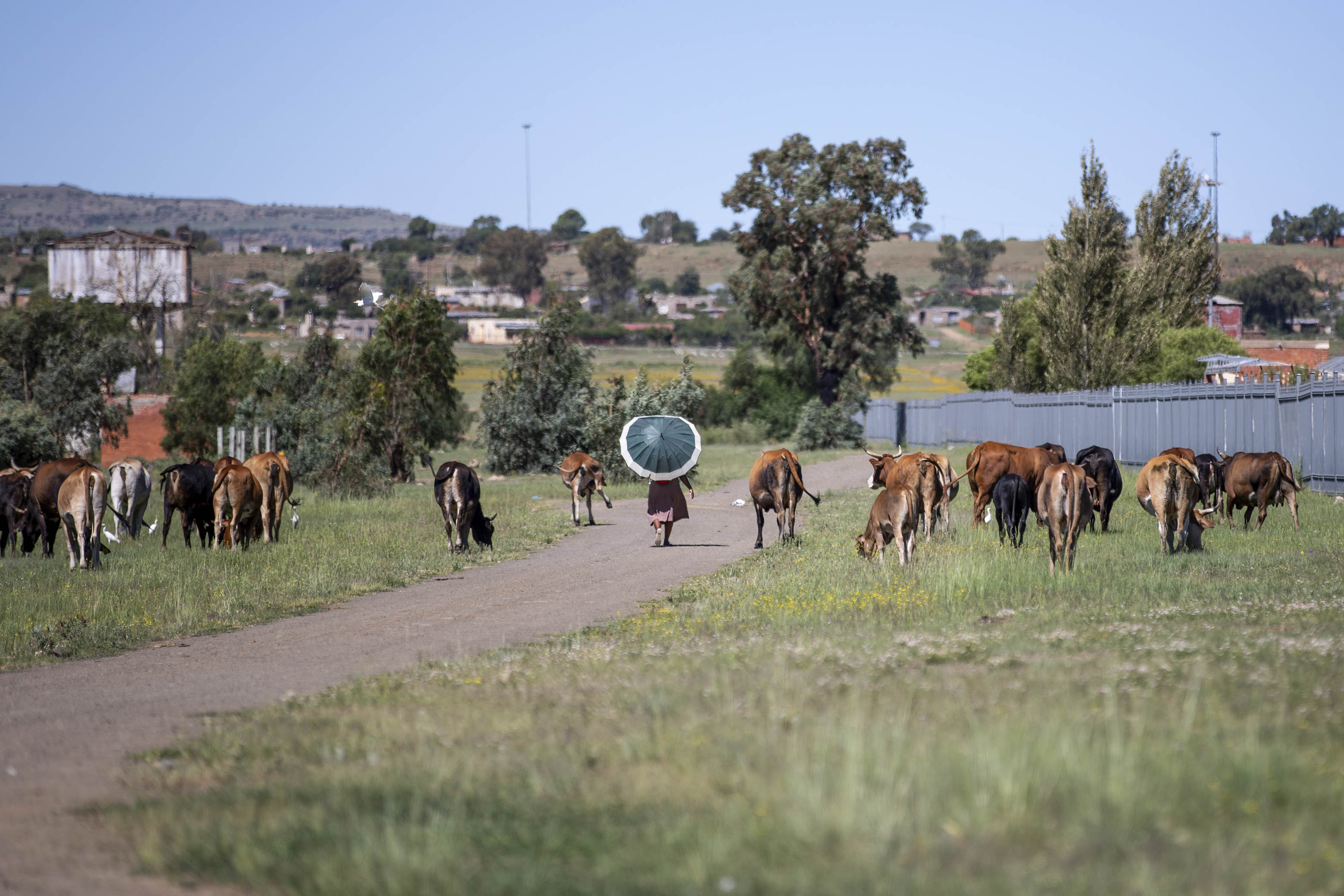 28 February 2019: A woman walks among cattle grazing close to Thubisi Trust on the outskirts of Thaba Nchu in the Free State.
