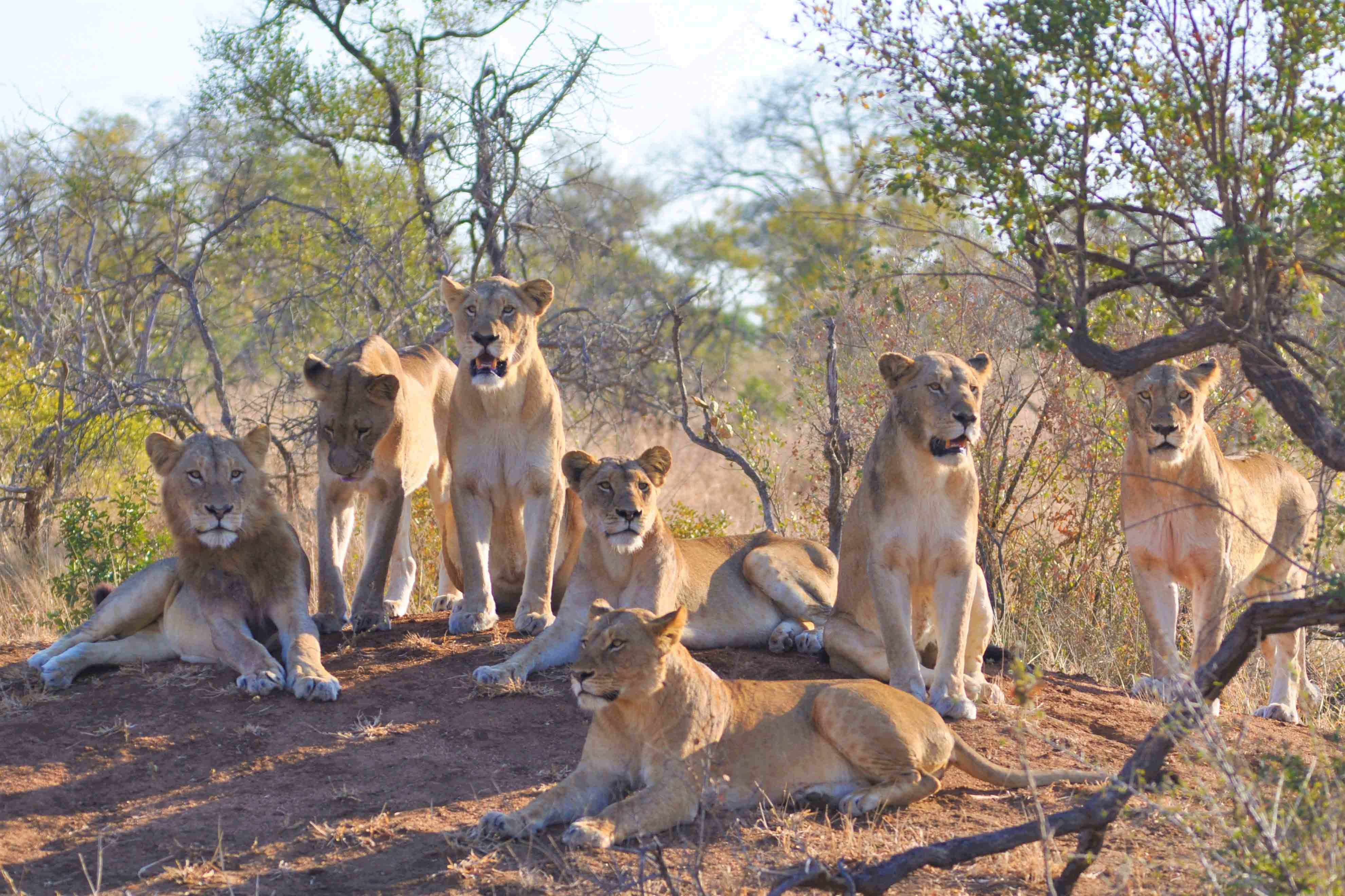 Lions generate significant national revenue and remain one of the most sought-after animals by tourists and trophy hunters. (Photograph by Samantha Page-Nicholson/African Lion Database/Endangered Wildlife Trust)