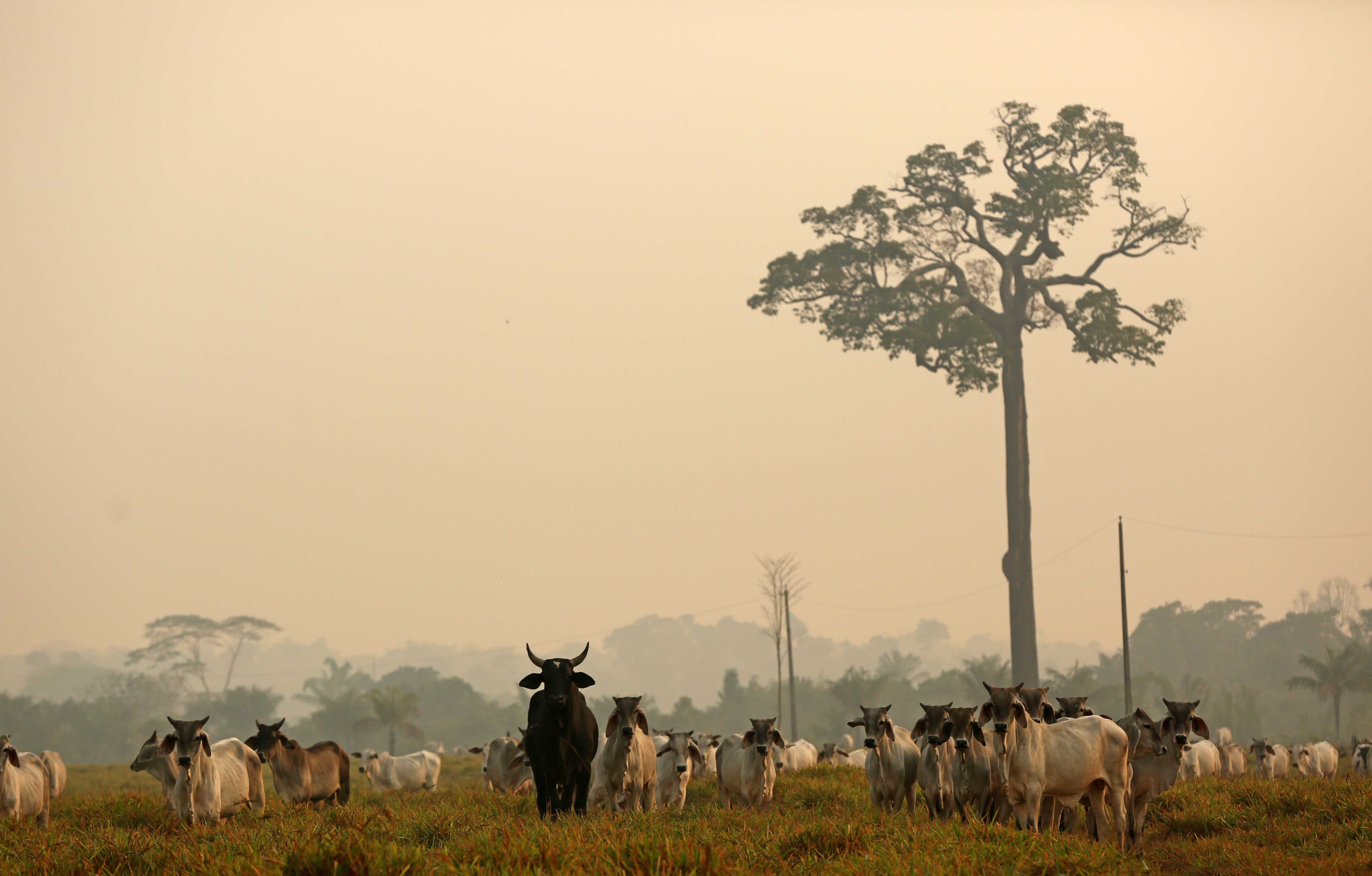 24 August 2019: Cattle grazing on land that used to be Amazon forest before it was cleared by fire in Boca do Acre, Amazonas state, Brazil. (Photograph by Reuters/Bruno Kelly)