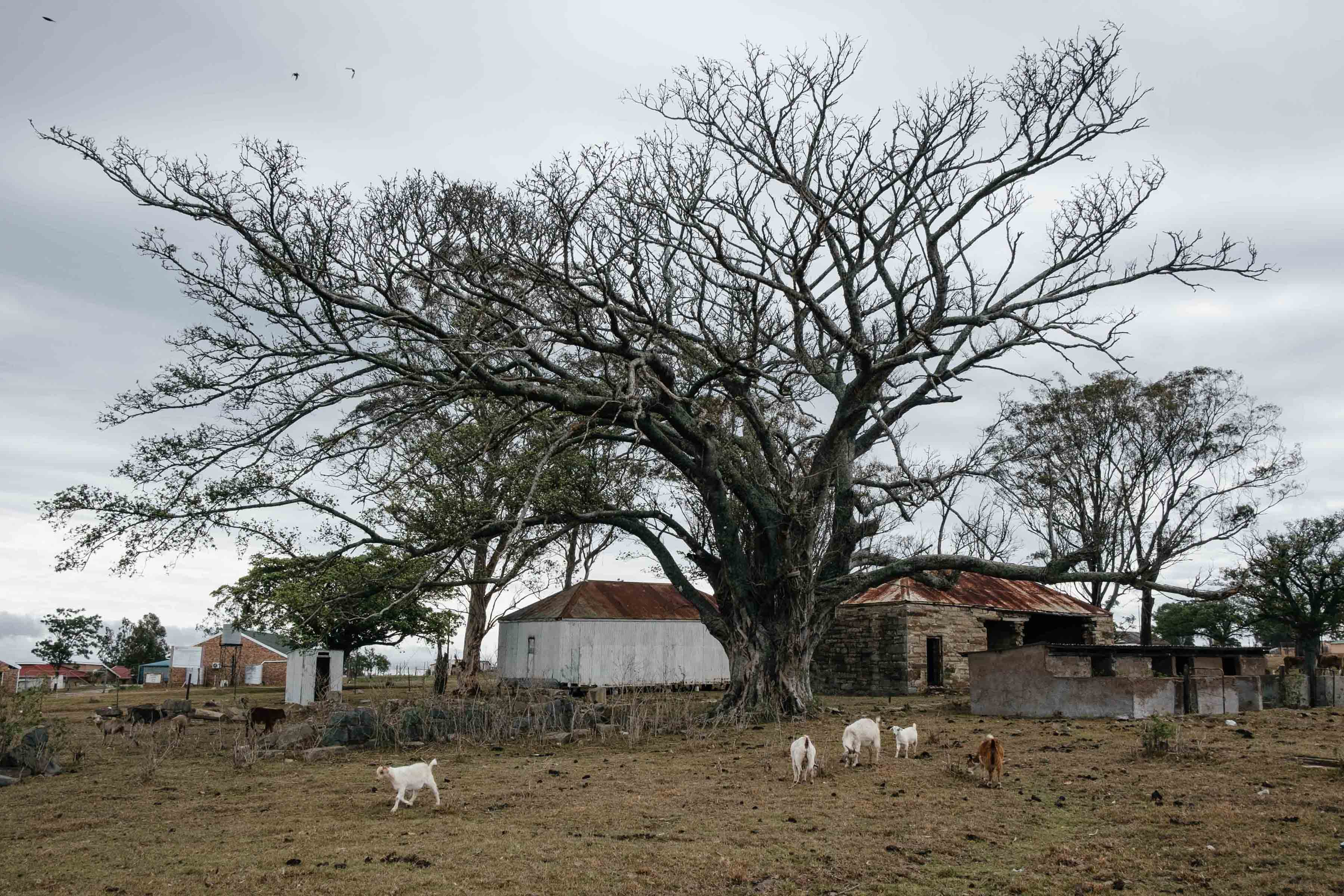 The death of deep-rooted trees such as this fig in Ngqwele village indicates that groundwater levels have dropped. Dry dams mean livestock also has to travel further to find drinking water, making the animals vulnerable to theft.