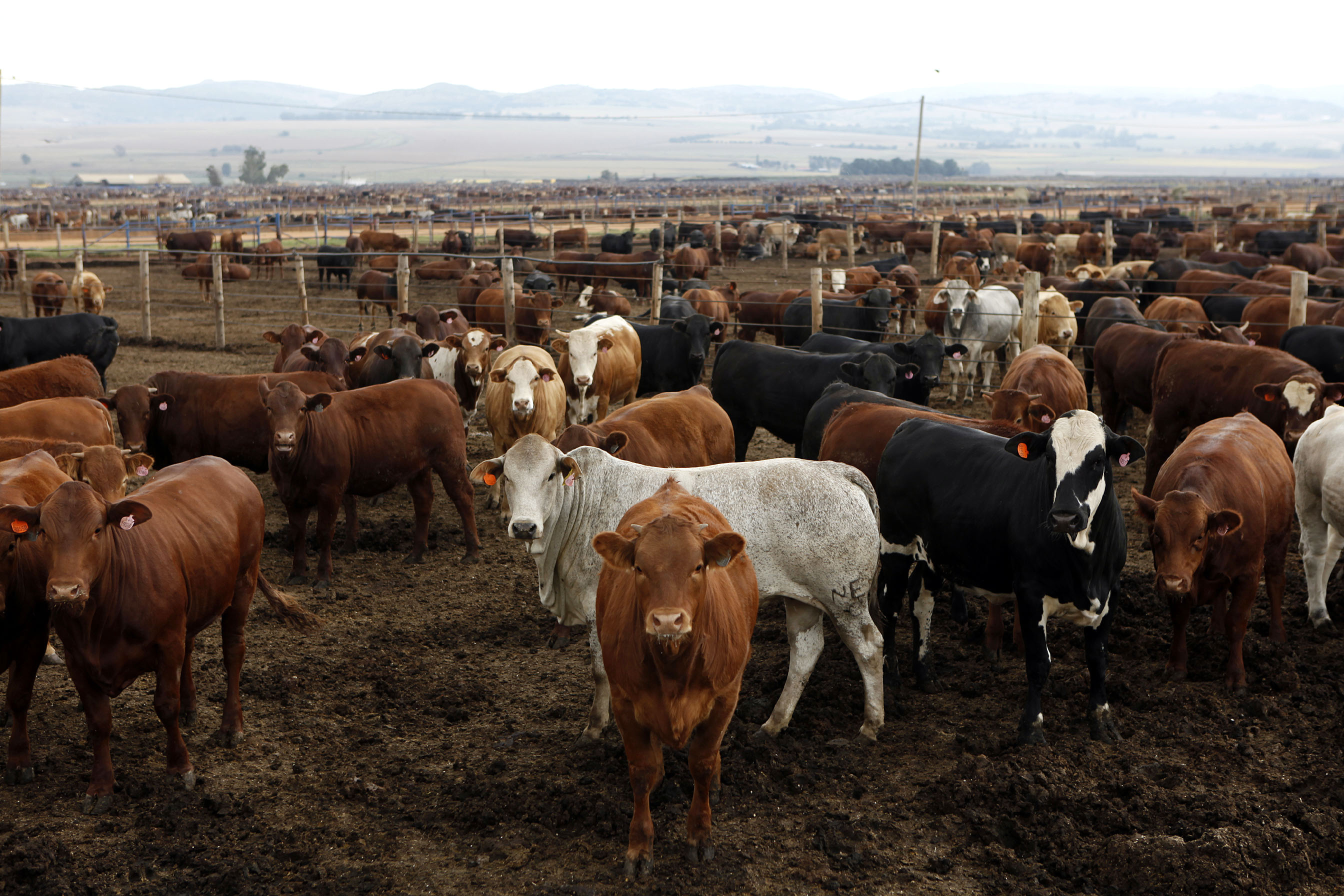 13 April 2011: Cattle on a Karan Beef farm outside Heidelberg, south-east of Johannesburg. Karan and food giant I&J are before the Competition Tribunal charged with colluding in the beef industry. (Photograph by Reuters/Siphiwe Sibeko)