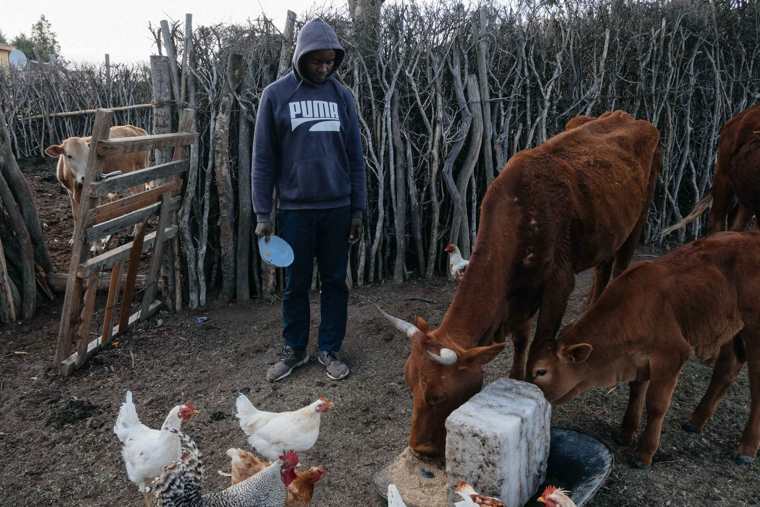 10 November 2019: Somila Sentwa, 29, gives his cattle supplementary feed at his kraal. Having to purchase food is putting additional financial pressure on already cash-strapped rural households.