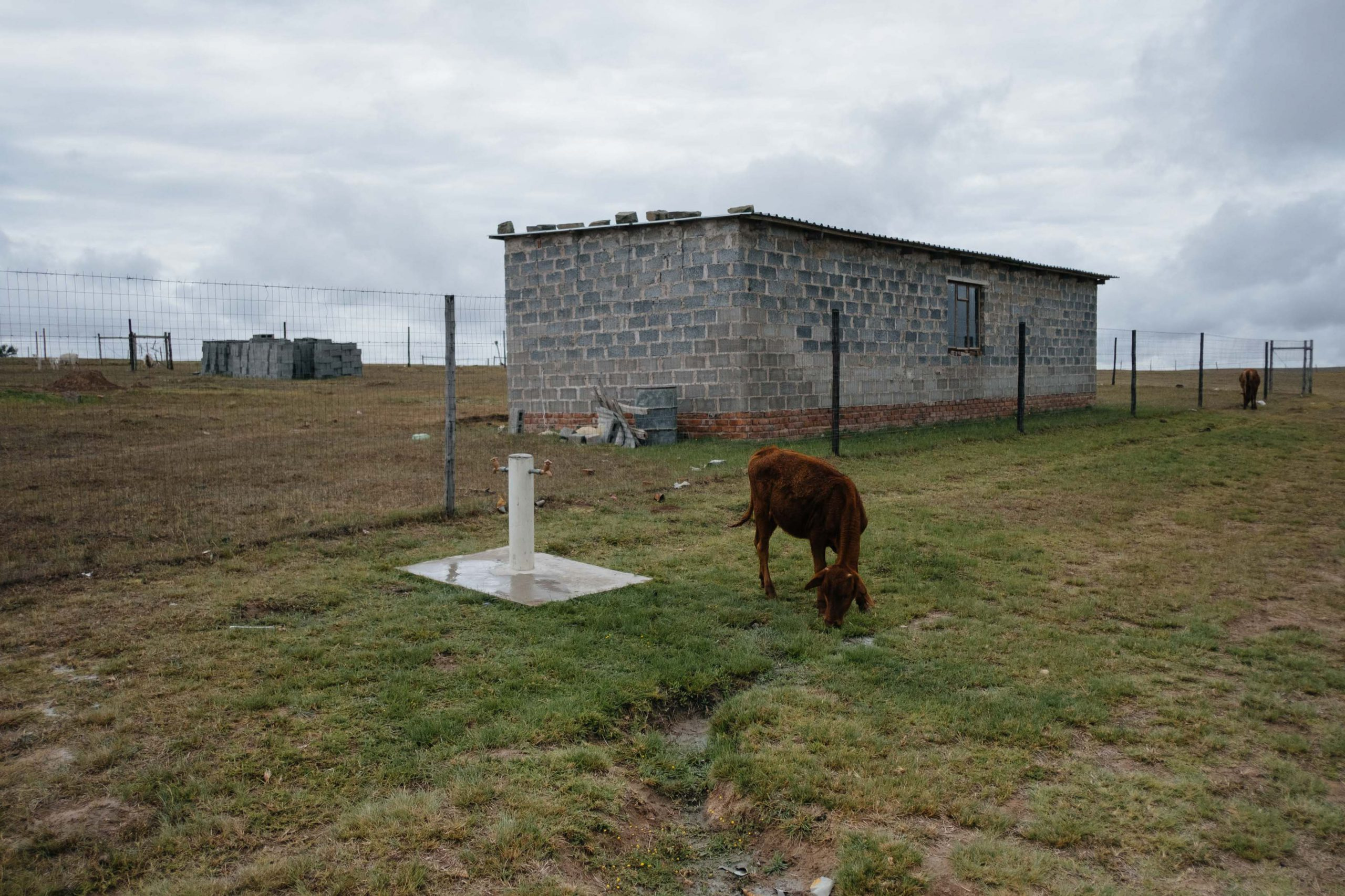 10 November 2019: A cow grazes on a patch of green grass around a municipal tap in Ngqwele Village. Sustained low rainfall since 2016 has reduced the productivity of the region's grasslands leading to extensive livestock losses.