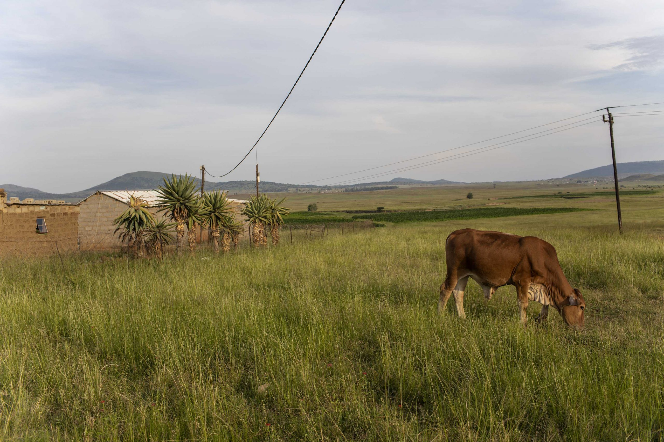 17 February 2020: Cattle in the veld in Watersmeet near Ladysmith, KwaZulu-Natal, where the sound of isicathamiya was nurtured.