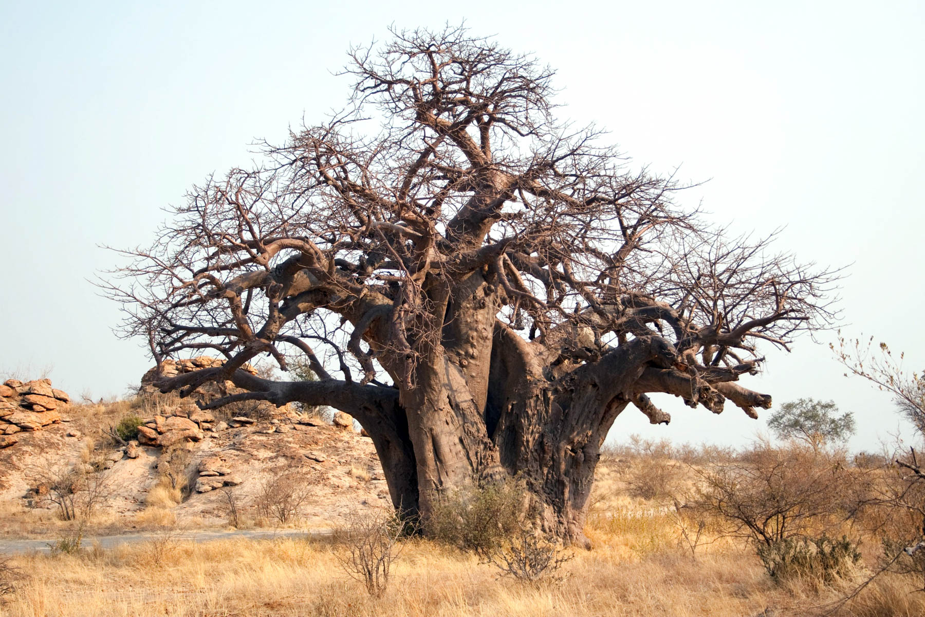 November 2010: The largest baobab in the Mapungubwe National Park. (Photograph by Gallo Images/ Go!/ Villiers Steyn)