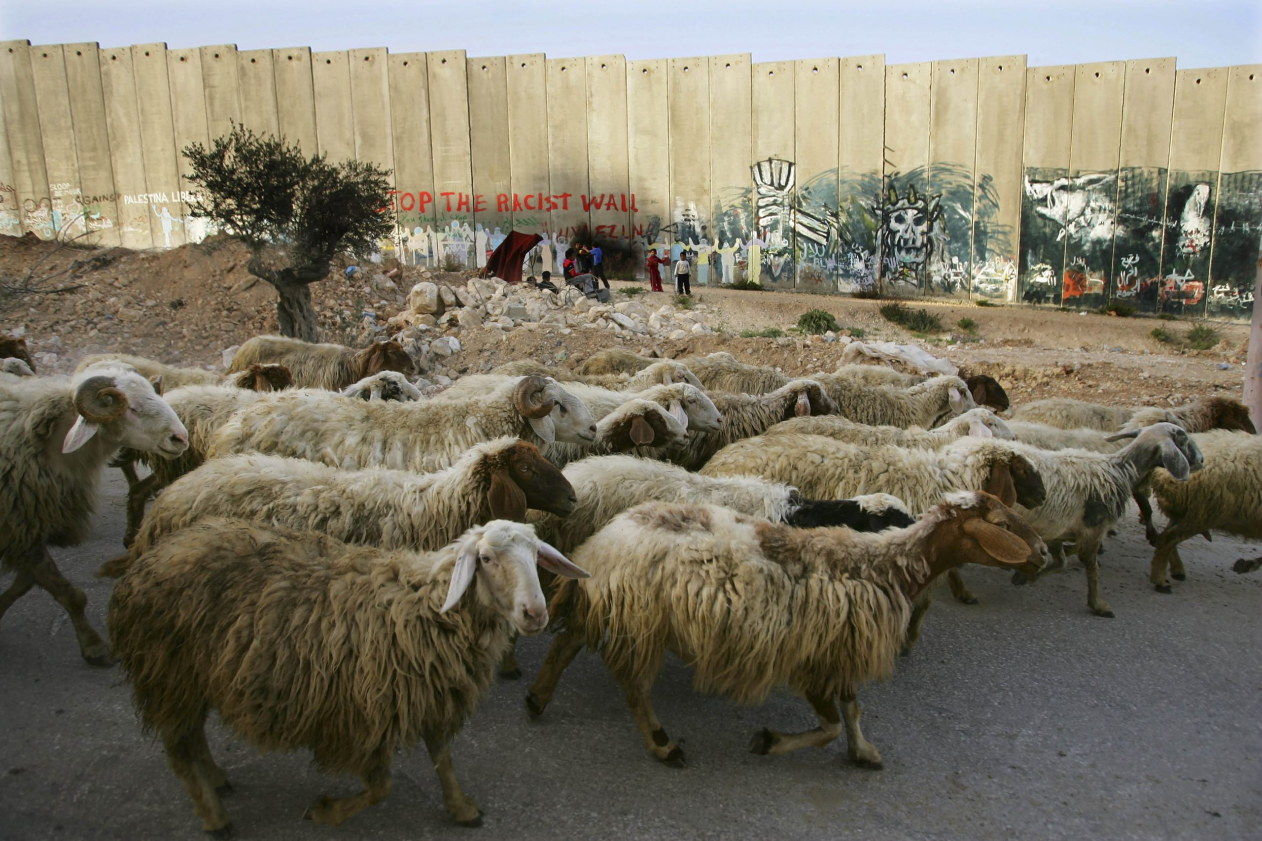 23 March 2006: Sheep walk along the concrete wall in the Aida refugee camp in Bethlehem, West Bank. The barrier blocks access between Bethlehem and Israel and will eventually separate Jerusalem from the West Bank. (Photograph by Paula Bronstein/ Getty Images)