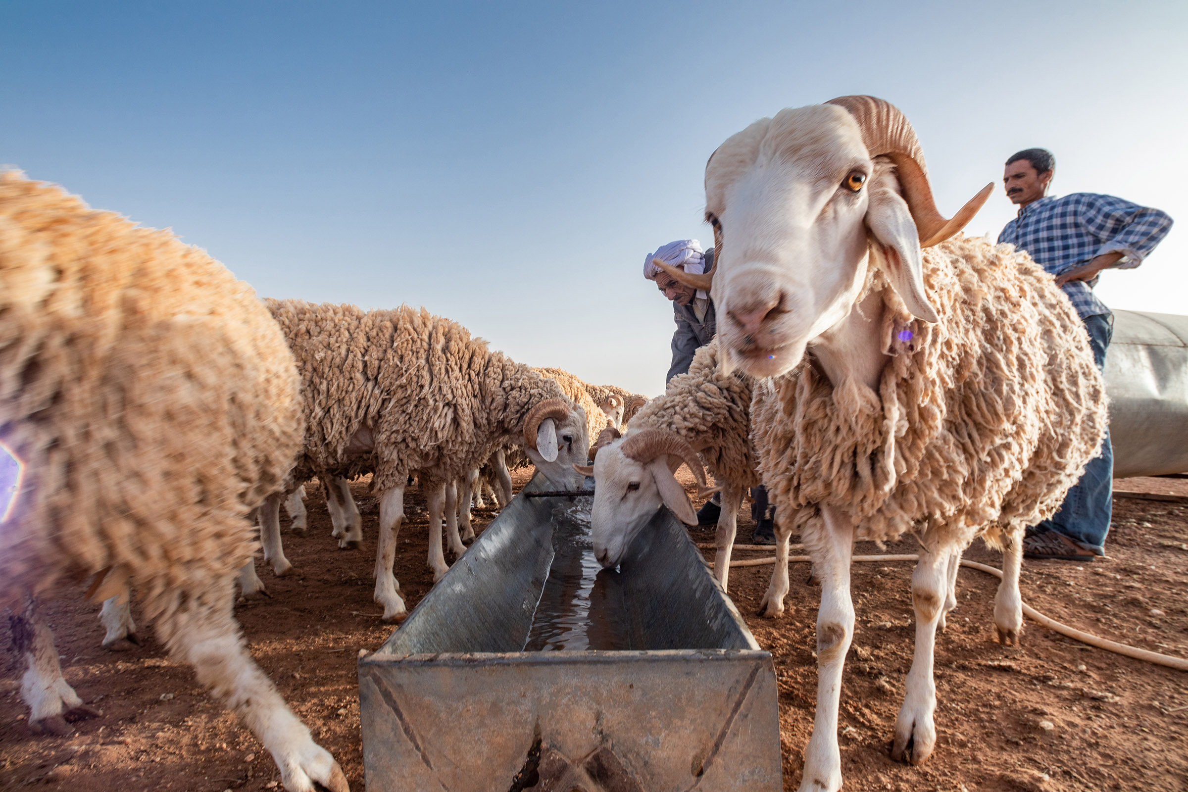 28 June 2020: Mohamed and Abdelkader Dahmoune pour water into a trough for their flock of Rembi sheep. (Photograph by Abderazak HadjTahar)