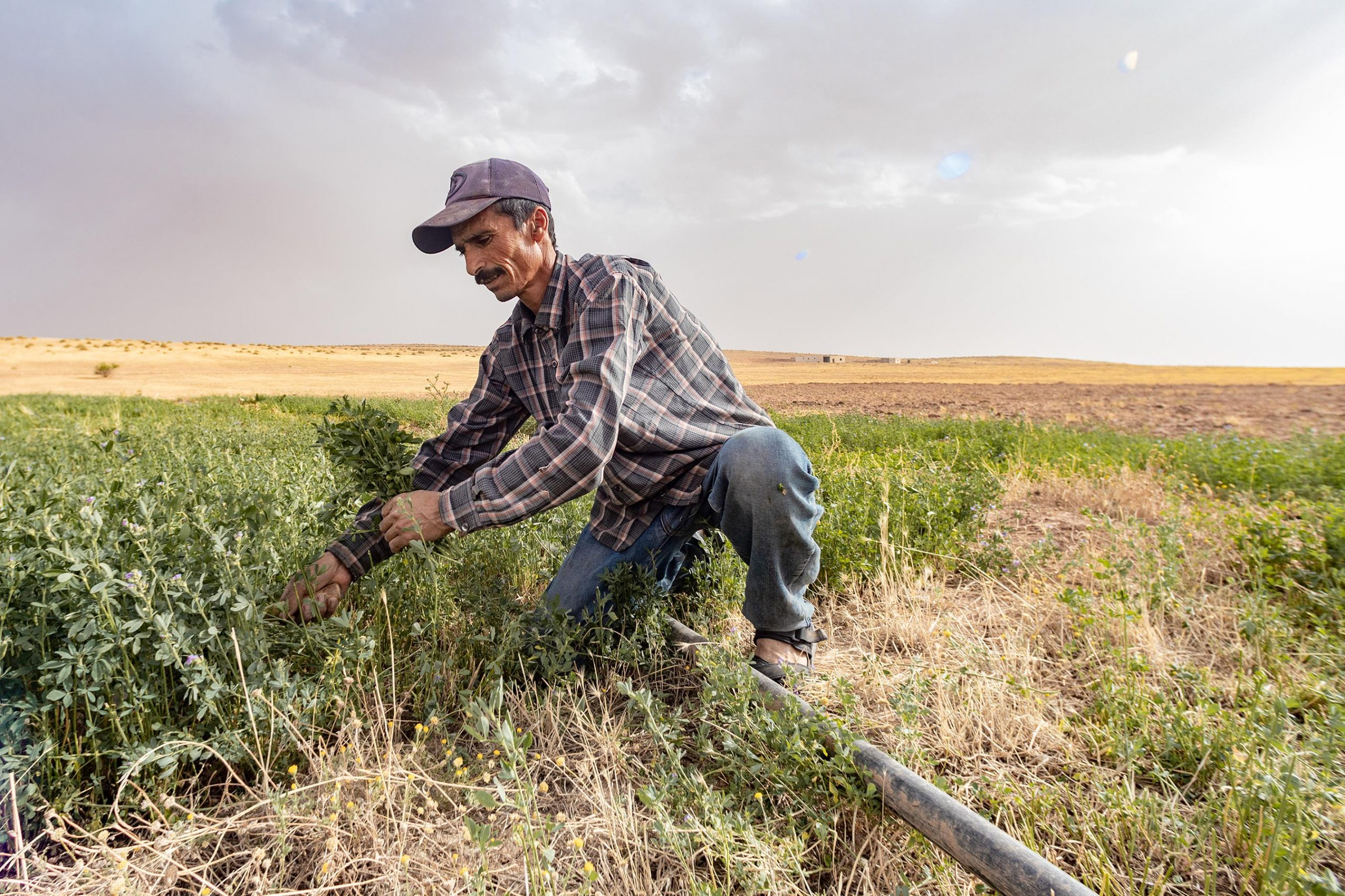 27 June 2020: Abdelkader Dahmoune uses a scythe to cut lucerne. The plant adapts well to arid climates and, harvested every 20 to 25 days, produces efficient yields of fodder for sheep. (Photograph by Abderazak HadjTahar)