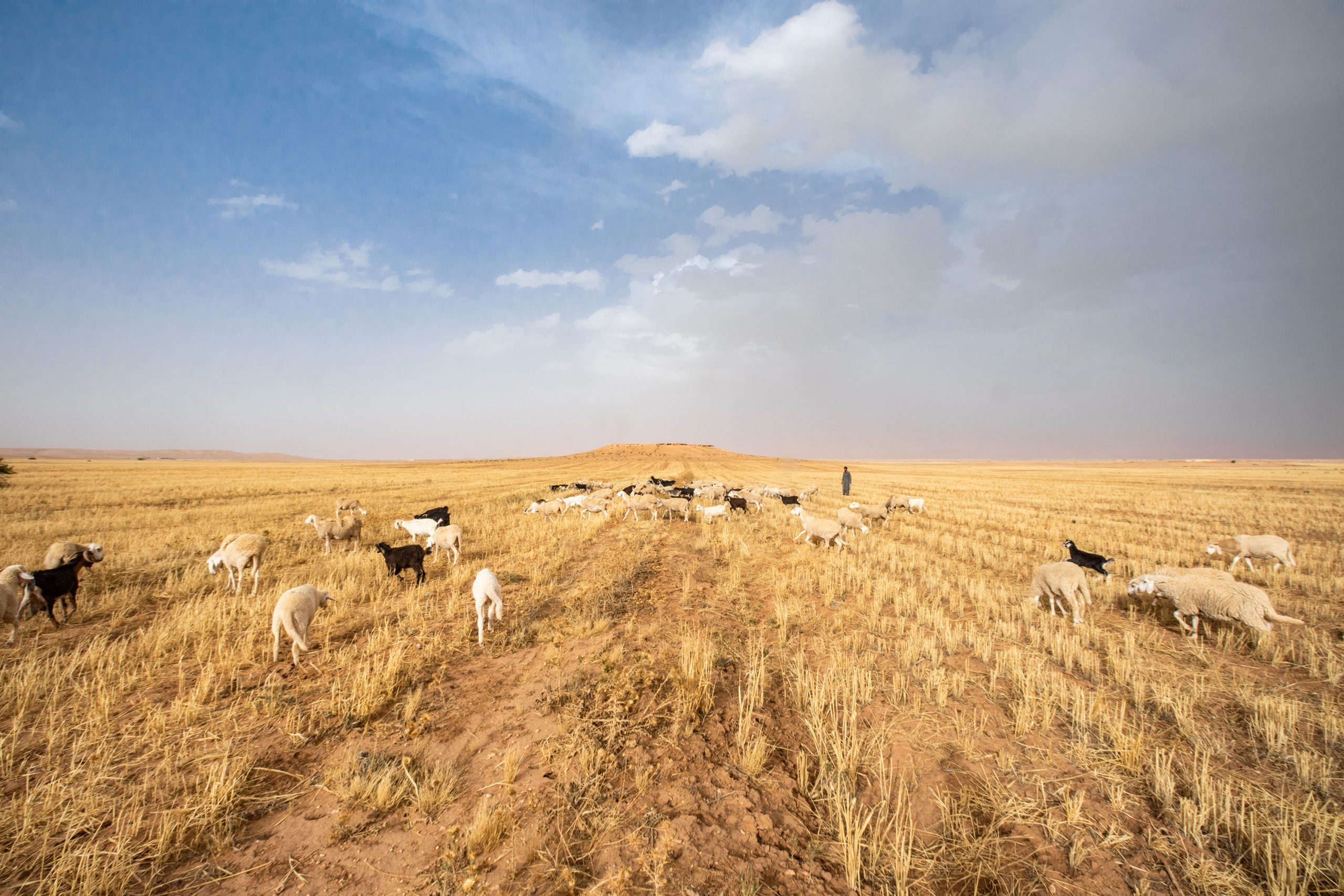 27 June 2020: A shepherd moves his flock of sheep into a field in El Guedid to graze. (Photograph by Abderazak HadjTahar)