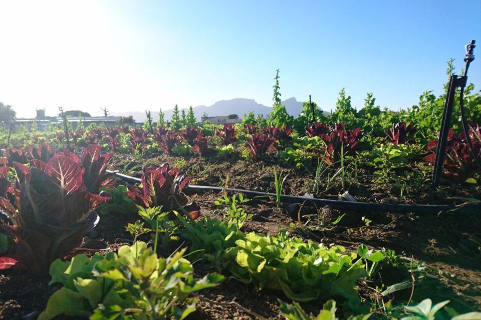 Undated: The Vegkop Polyculture Farm in the Philippi Horticultural Area is a community-led initiative to encourage people to grow their own food and reconnect with the soil. (Photograph by Nazeer Sonday)